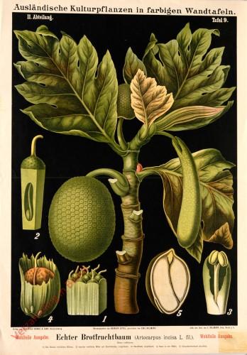 II. Abteilung, 14 - Echter Brotfruchtbaum