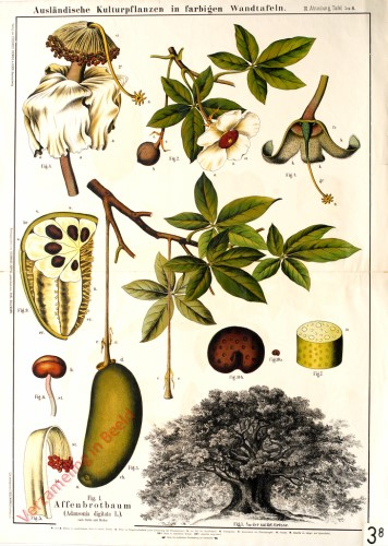 III. Abteilung, 5,6 - Affenbrotbaum