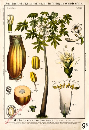 III. Abteilung, 12 - Melonenbaum