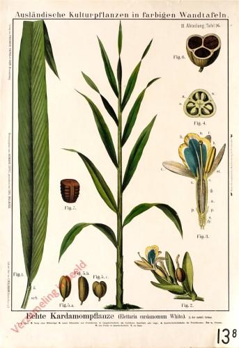 III. Abteilung, 16 - Echte Kardamompflanze
