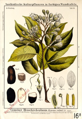 III. Abteilung, 19 - Heuschreckenbaum