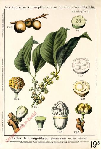 III. Abteilung, 22 - Echter Gummiguttbaum