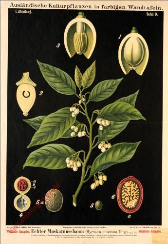 I. Abteilung, 9 - Echter Muskatnussbaum
