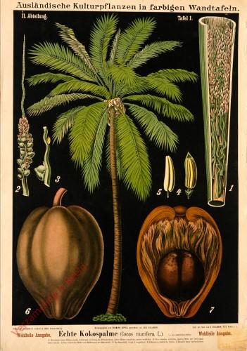 II. Abteilung, 1 - Echte Kokospalme