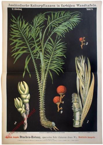 II. Abteilung, 4 - Drachenblutpalme, spanisches Rohr