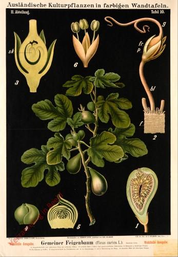 II. Abteilung, 10 - Gemeiner Feigenbaum