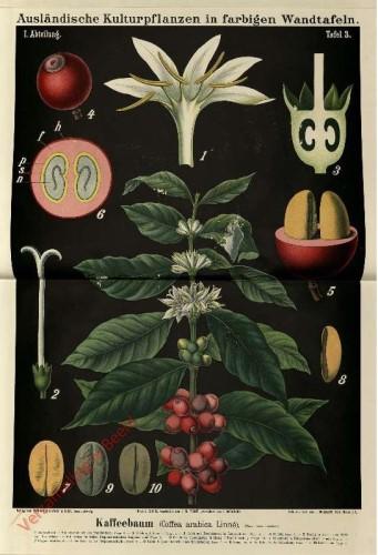 I. Abteilung, 3 - Kaffeebaum (Coffe arabica Linne)