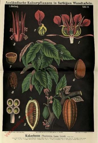 I. Abteilung, 5 - Kakaobaum (Theobroma cacao Linne)