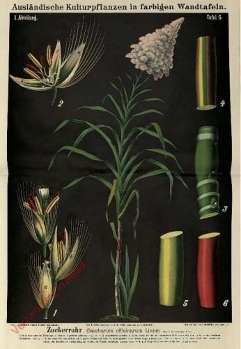 I. Abteilung, 6 - Zuckerrohr (Saccharum officinarum Linne)