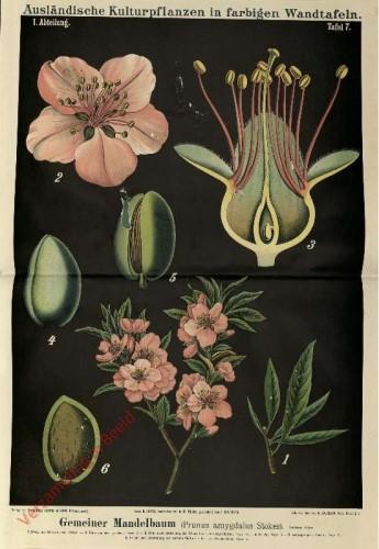 I. Abteilung, 7 - Gemeiner Mandelbaum (Prunus amygdalus Stokes)