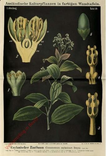 I. Abteilung, 10 - Ceylonischer Zimtbaum (Cinnamomum ceylanicum Breyn)
