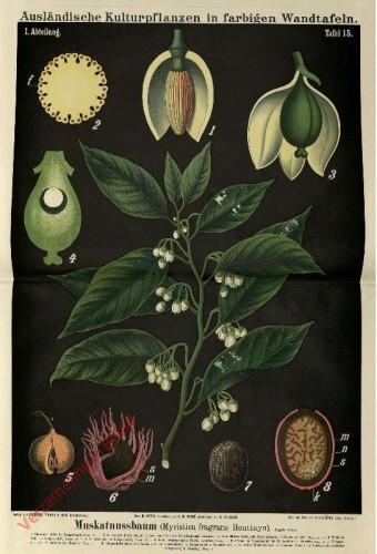 I. Abteilung, 15 - Echter Muskatnussbaum (Myristica fragrans Houttuyn)