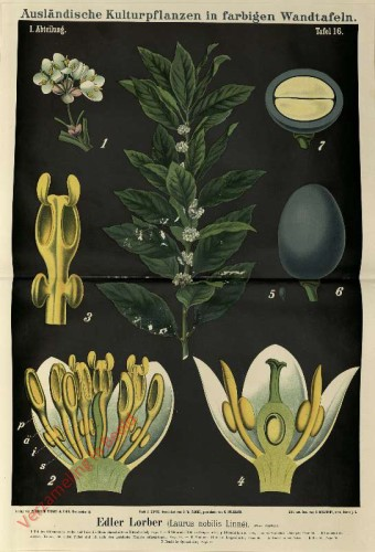 I. Abteilung, 16 - Edler Lorber (Laurus nobilis Linne)