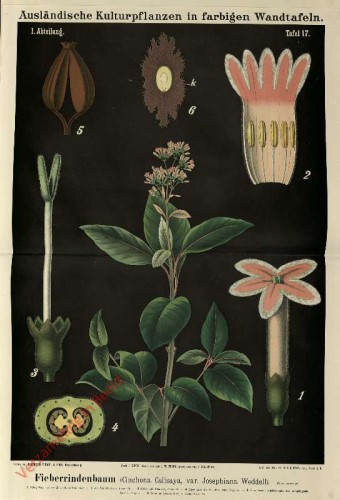 I. Abteilung, 17 - Fieberrindenbaum (Cinchona Calisaya, var. Josephiana Weddell)