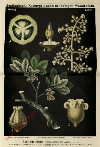 I. Abteilung, 21 - Guyana-Kautschukbaum (Heva guyanensis Aublet)