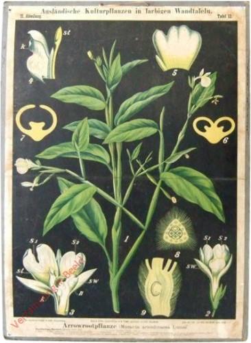 II. Abteilung, 12 - Arrowrootpflanze (Maranta arundinacea Linne)