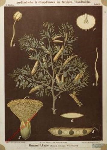 II. Abteilung, 20 - Gummi-Akazie (Acacia Senegal Willdenow)