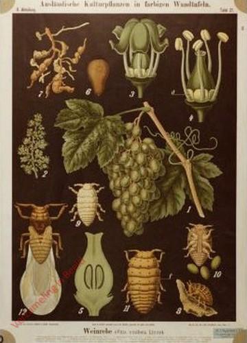 II. Abteilung, 21 - Weinrebe (Vitis vinifera Linne)