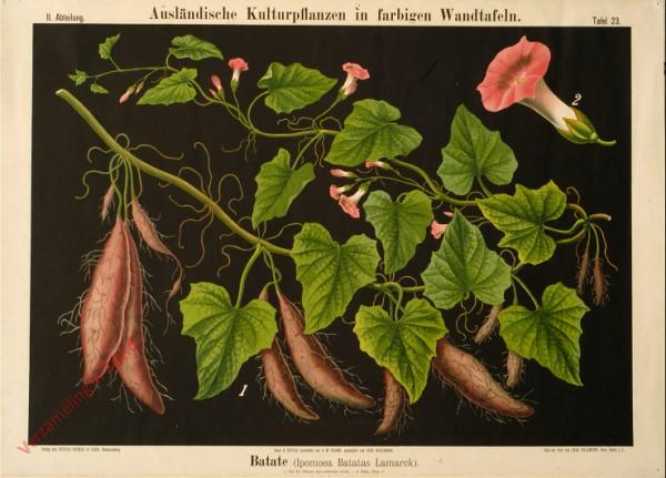 II. Abteilung, 23 - Batate Ipomoea Batatas Lamarck