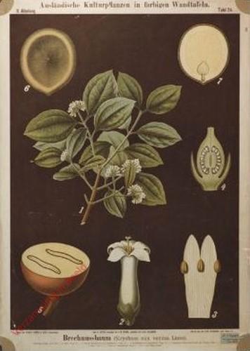 II. Abteilung, 24 - Brechnussbaum (Strychnos nux vomica Linne)