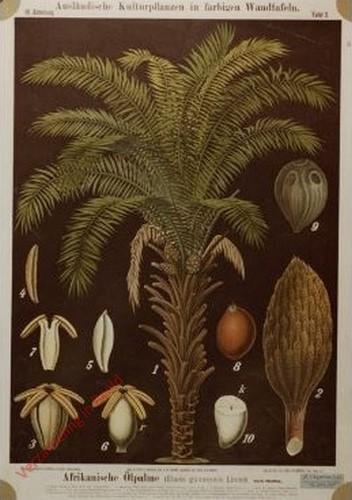 III. Abteilung, 3 - Afrikanische Olpalme (Elaeis guineensis Linne)