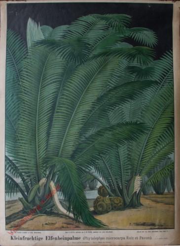 III. Abteilung, 4,5 - Kleinfruchtige Elfenbeinpalme (Phytelephas microcarpa Ruiz et Pavon)