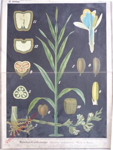 III. Abteilung, 6 - Malabar Cardamome (Elettaria Cardamomum White et Maton)