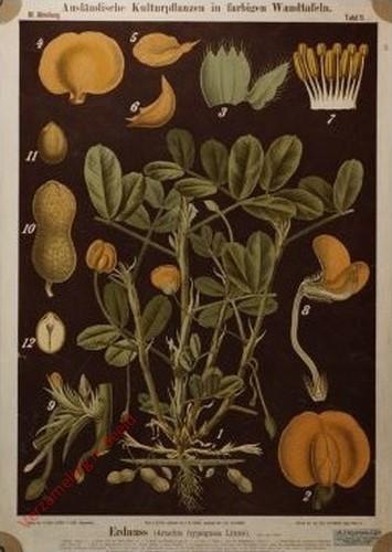 III. Abteilung, 11 - Erdnuss (Arachis hypogaea Linne)