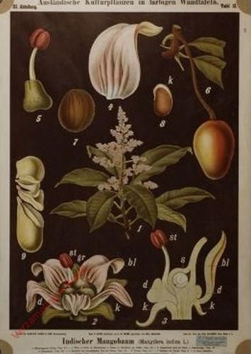 III. Abteilung, 12 - Indischer Mangobaum (Mangifera indica L.)