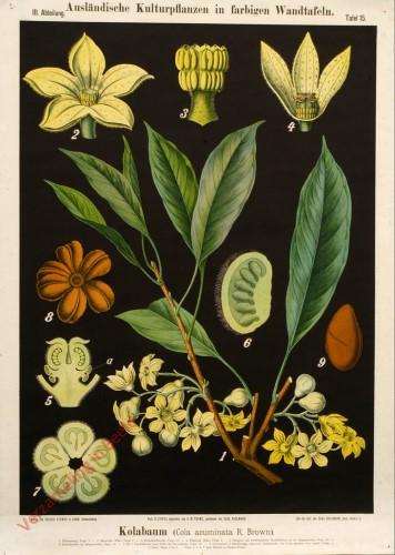 III. Abteilung, 15 - Kola-Baum (Cola acuminata R. Brown)