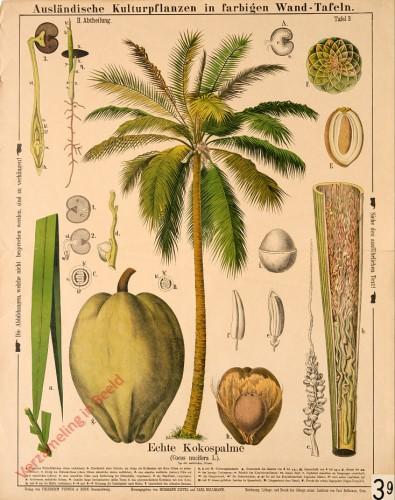 II. Abteilung, 3 - Echte Kokospalme