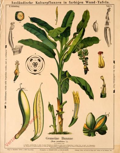 II. Abteilung, 5 - Gemeine Banane