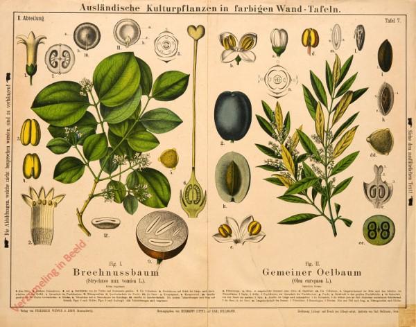 II. Abteilung, 7 - Brechnussbaum, Gemeiner Oelbaum