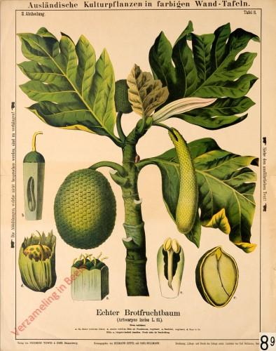 II. Abteilung, 8 - Echter Brotfruchtbaum