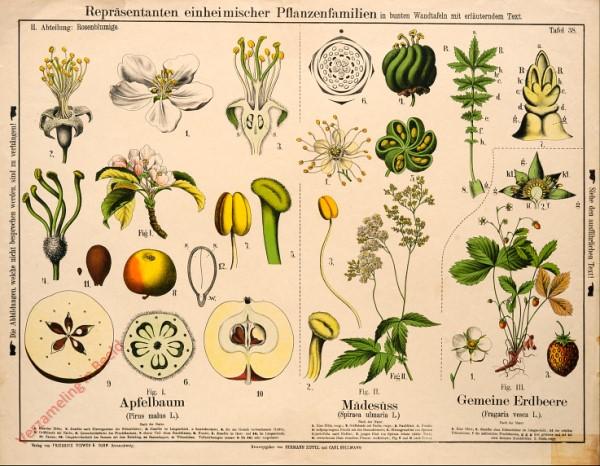 II. Abteilung, 38 - Rosenblumige