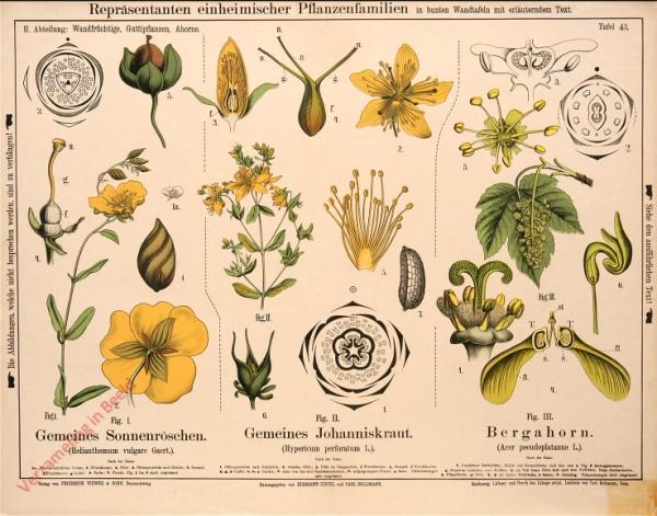 II. Abteilung, 43 - Wandfrüchtige, Guttipflanzen, Ahorne
