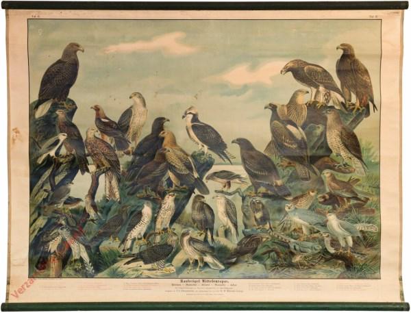 II - Raubvögel Mitteleuropas (Weihen, Habichten, Milane, Bussarde, Adler)