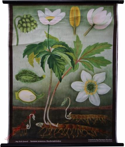 6 [var 2A] - Buschwindr�schen, anemone nemorosa [2 bloemen, lichte achtergrond boven]