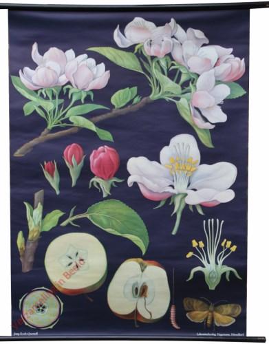16 [var 2] - Apfelbaum