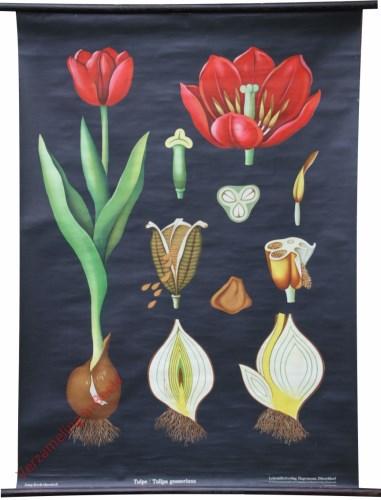 34 [var 2A] - Tulpe, Tulipe gesneriana