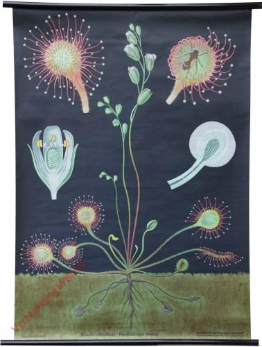 36 [var 2] - Rundbl�ttriger Sonnentau, Drosera rotundifolia