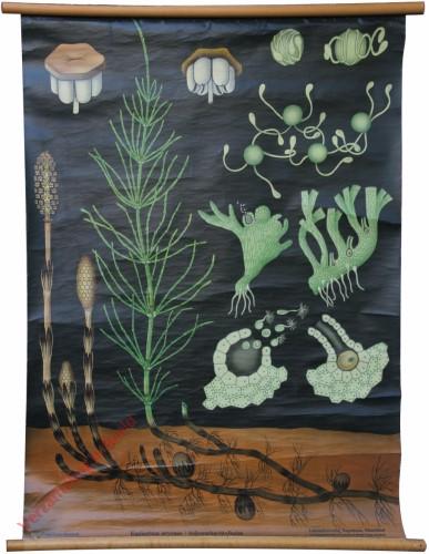 42 [var 2] - Ackerschachtelhalm, Equisetum arvense