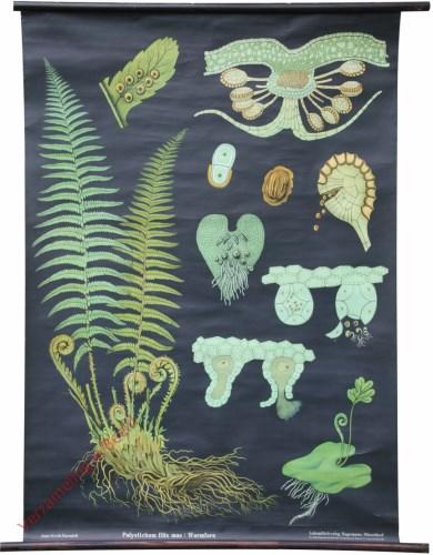 44 [var 2] - Wurmfarn, Polystichum filix mas