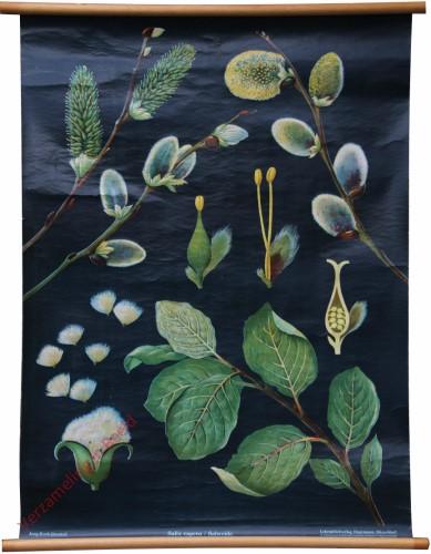 [var 2A] - Salweide, Salix caprea