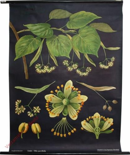 [var 2] - Linde, Tilia parvifolia