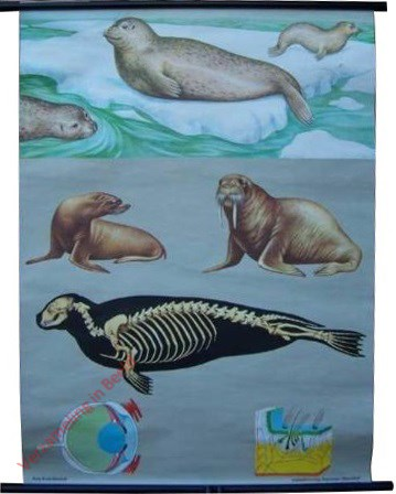 14 [var 2] - Seehund, Robben