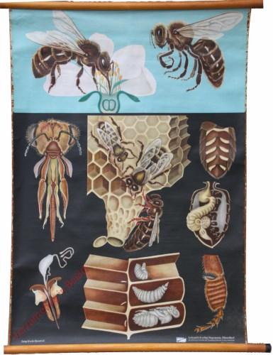 32 [var 2] - Honingbiene [Linksonder angel, rechtsonder poot]