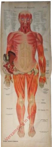 II - Muskulatur und Eingeweide
