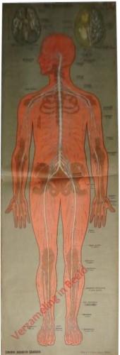 III - Das Nerven-System