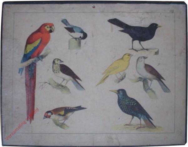 XXV - [Vögel. Papagaai, putter, mees, merel, spreeuw]